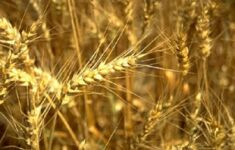 ripened wheat
