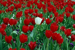one white tulip in a field of red tulips